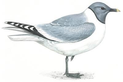 Birds: Charadriiformes, Sabine's Gull (Xema Sabini)