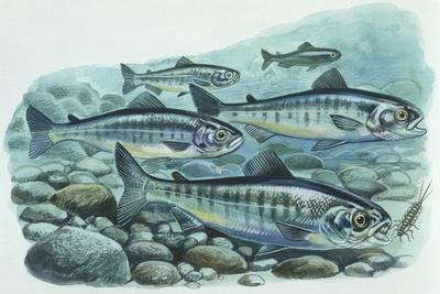 Fishes: Salmoniformes Atlantic Salmon (Salmo Salar)
