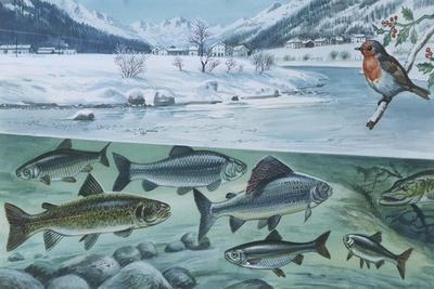 Freshwater Fishes: Mountain River in Winter
