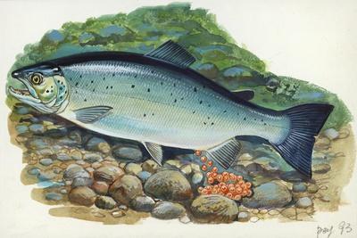 Atlantic Salmon Salmo Salar Laying Eggs