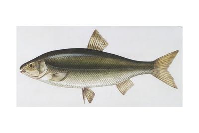 Fishes: Rovella (Rutilus Rubilio)
