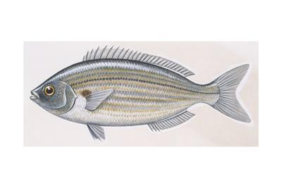 Fishes: Perciformes Sparidae, Salema (Sarpa Salpa)