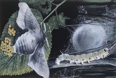 Larva and Caterpillar of Silkworm (Bombyx Mori)