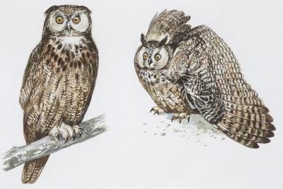 Zoology: Birds, Long-Eared Owl (Asio Otus)