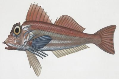 Zoology: Fishes: (Lepidotriglia Cavillone)