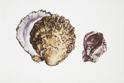 Saddle Oyster (Anomia Ephippium)
