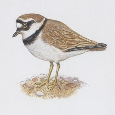 Zoology: Birds, Little Ringed Plover (Charadrius Dubius)