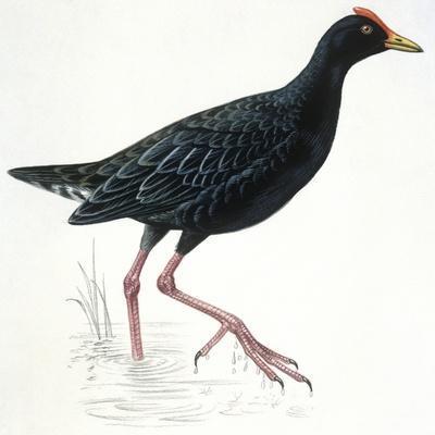Birds: Gruiformes, Common Moorhen (Gallinula Chloropus)