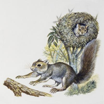 Eastern Gray Squirrel (Sciurus Carolinensis), Sciuridae