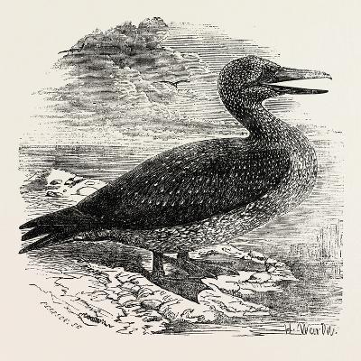 Solan Gannet Shot Near Boston UK 1854
