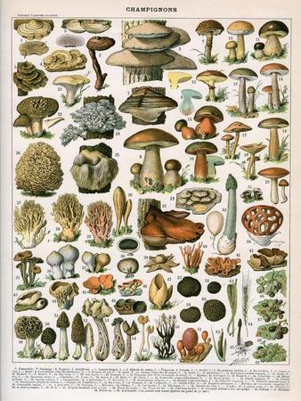 Decorative Print of 'Champignons' by Demoulin, 1897