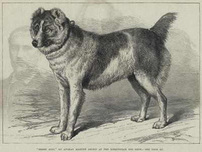 Shere Alli, an Afghan Mastiff Shown at the Birmingham Dog Show