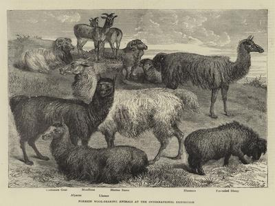 Foreign Wool-Bearing Animals at the International Exhibition