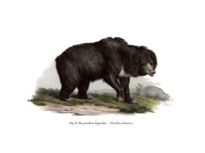 Common Indian Sloth Bear, 1860