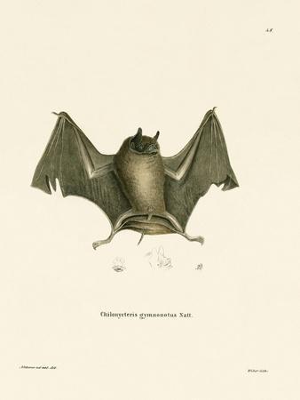 Big Naked-Backed Bat