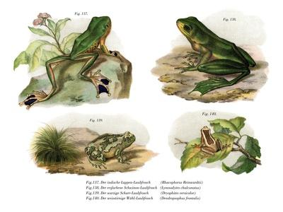 Reinwardt's Flying Frog