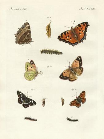 German Day-Butterfly