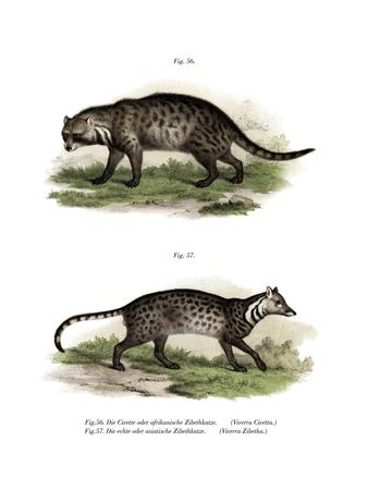 African Civet, 1860