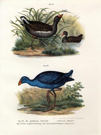 Common Moorhen, 1864