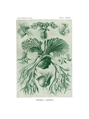 Filicinae, 1899-1904