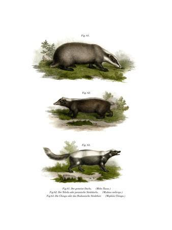 Common Badger, 1860