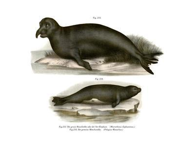 Elephant Seal, 1860