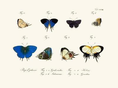 Butterflies, 1783-1806