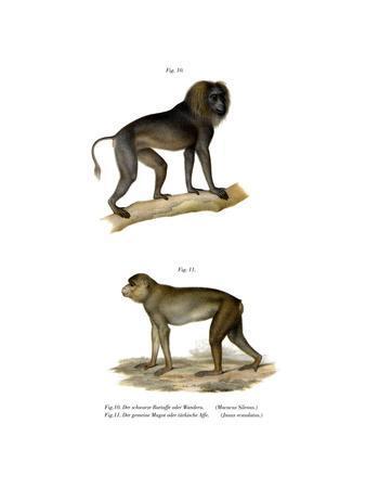 Wanderoo Monkey, 1860