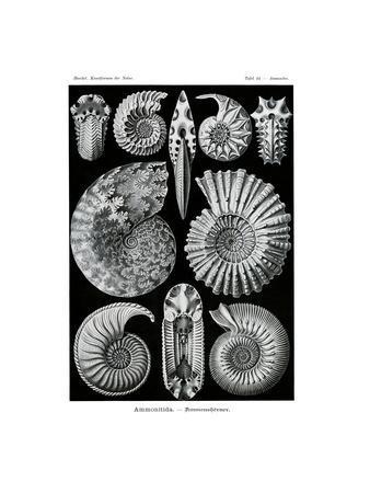 Ammonitida, 1899-1904