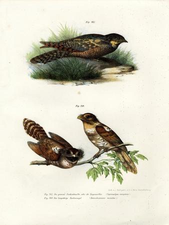Eurasian Nightjar, 1864