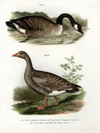 Chinese Goose, 1864