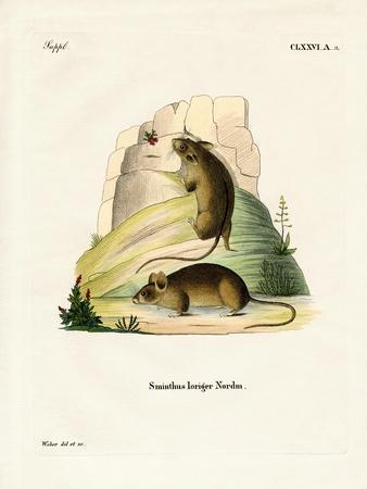 Southern Birch Mouse