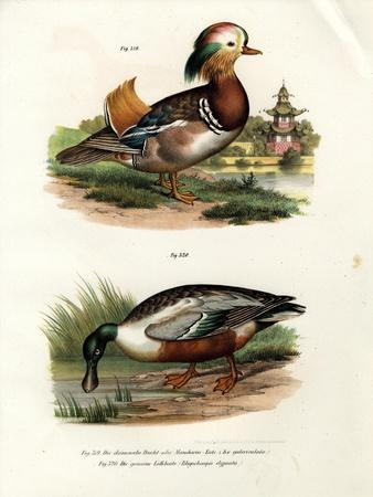 Mandarin Duck, 1864
