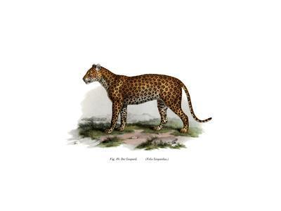 Leopard, 1860