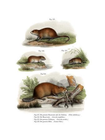 Muskrat, 1860