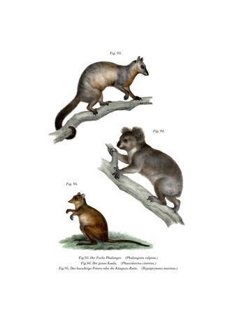 Fuchskusus, 1860