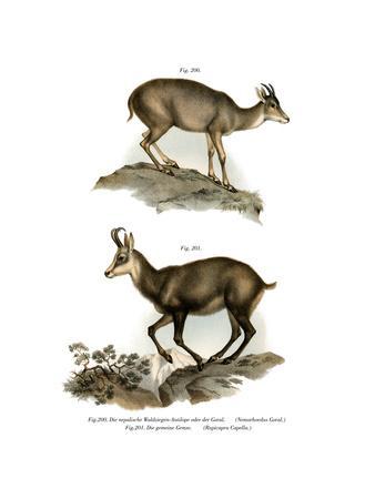 Gray Goral, 1860