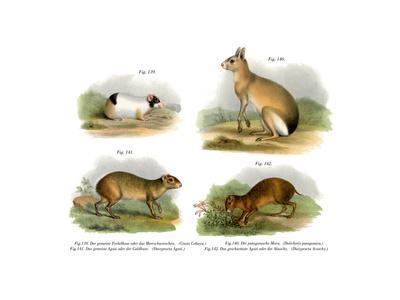 Guinea Pig, 1860