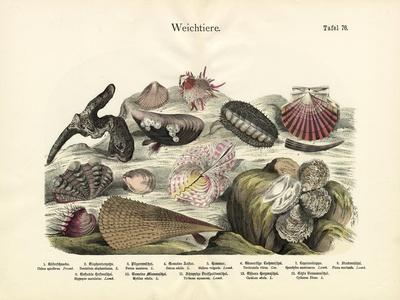 Molluscs, C.1860