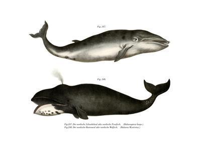 Fin Whale, 1860