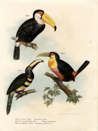 Toco Toucan, 1864