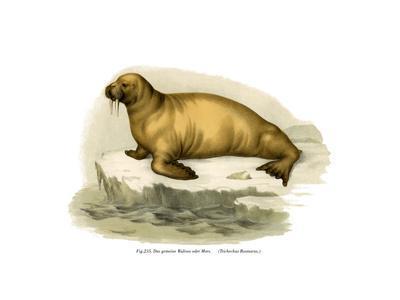 Walrus, 1860