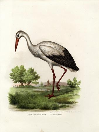 White Stork, 1864