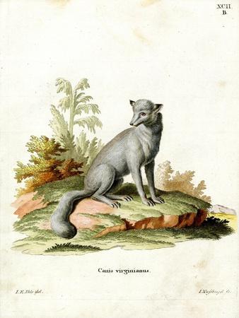 Virginian Fox