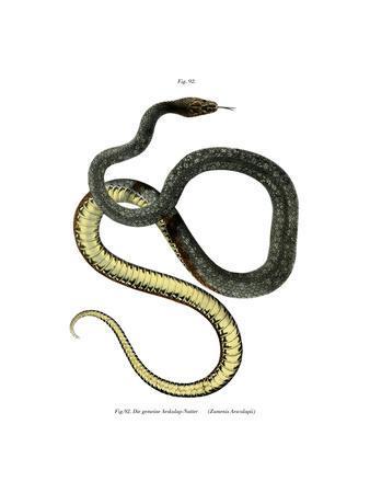 Aesculapean Snake
