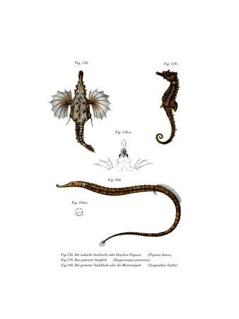 Short Dragonfish