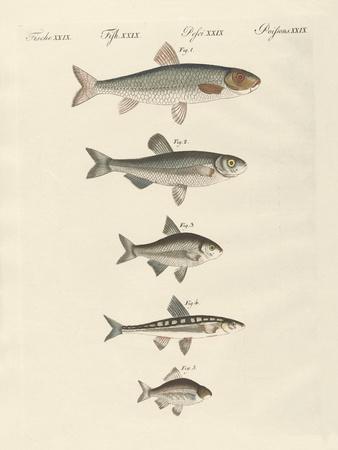 German River Fish