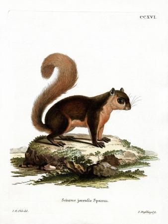 Malayan Squirrel