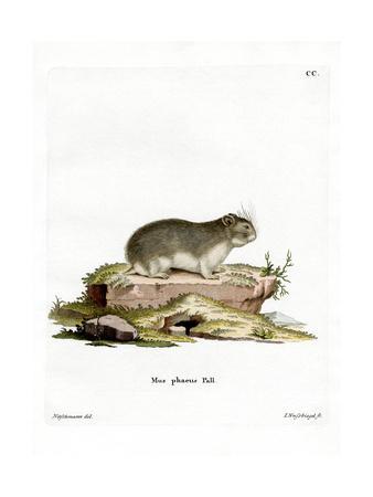 Little Grey Hamster