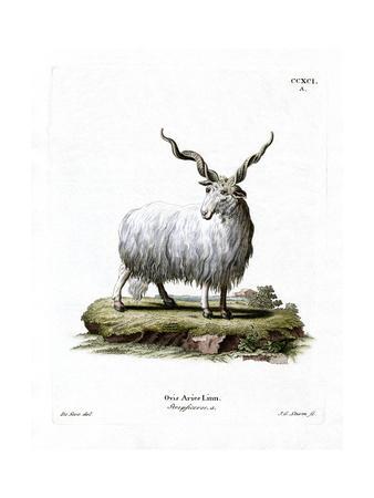 Wallachian Sheep